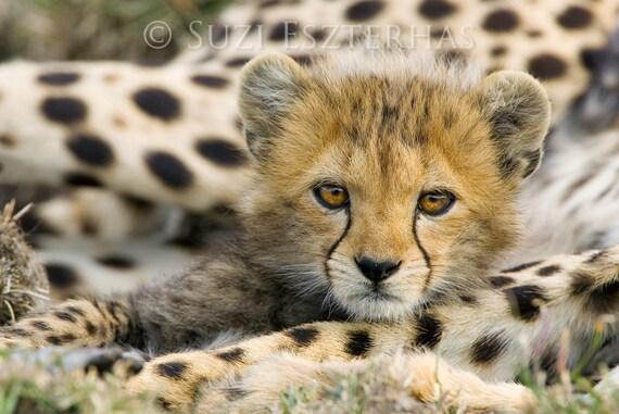 BABY CHEETAH PHOTO Print, Baby Animal Photography, African Wildlife Photograph, Baby Nursery Decor, Wall Art, Safari Nursery, Cheetah Cub