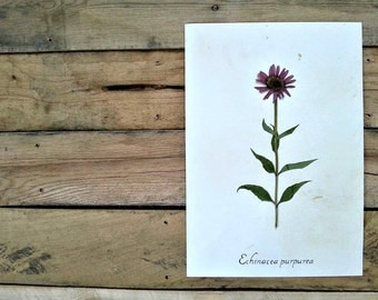 Pressed Purple Coneflower Real Botanical Herbarium Specimen