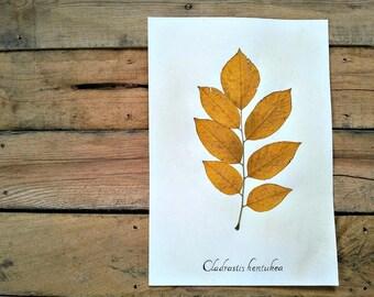 Pressed Fall Leaf - Yellowwood Tree