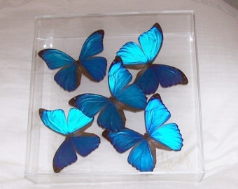 Real Butterflies in the  Iridescent Blue Morpho Family