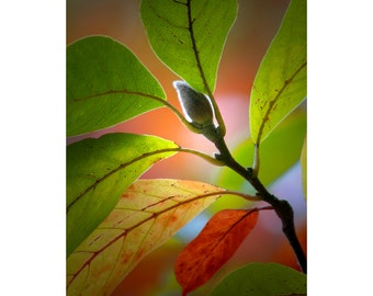 Magnolia Tree Branch with Blossom Bud in West Michigan No.3057 A Fine Art Nature Vertical Photograph
