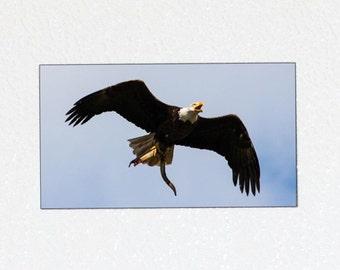 Bald Eagle Magnet - Bird Magnet Gift, Soaring Bird Photography Magnet, Bird of Prey, American Eagle Photography, Flying Eagle Photo Magnet