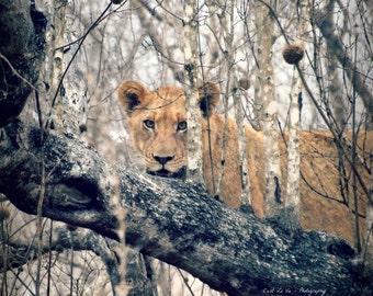 African Safari Fine Art Print, Lion Cub, 8x10