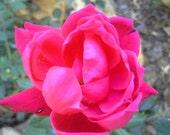 """Himalayan Rose Incense Sticks 11""""  30 Sticks"""