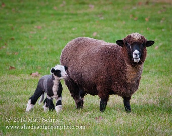 Sheep Photograph Print - Black and White Babydoll Sheep - Fine Art Photo Wall Art Baby
