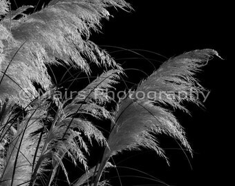 Pampas Grass Plume Feathery Delicate Black & White Garden Photography, Fine Art Photography matted, signed 5x7 Original Photograph