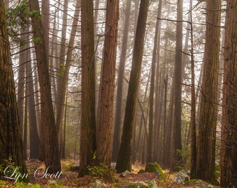 The forest -  Nature, landscape photography, fall, autumn, forest, fine art, trees, art, redwoods, rustic, home decor, California