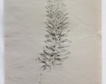 Stone Crop Plant Study - Original Graphite Drawing