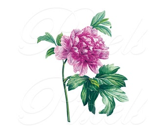 PEONY Instant Download, printable illustration, pink botanical wedding clipart for framing Redoute no.300