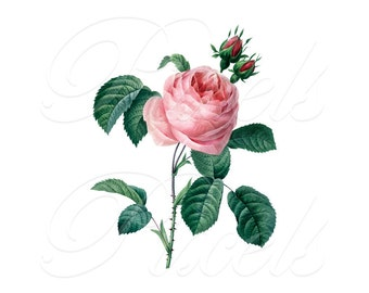 PINK ROSE Instant Download large Digital Image, wedding vintage rose pink flower large image illustration REDOUTE 023