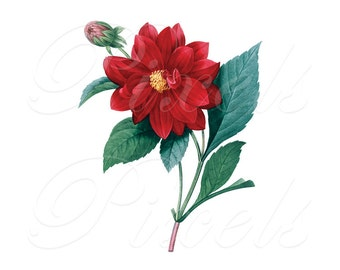 DAHLIA Instant Download, Red Flowers Clipart, Large Digital Download old botanical illustration Redoute 058