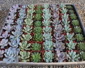 "50 ROSETTE WEDDING FAVOR Succulents Wonderful plants in 2"" plastic pots succulent party favors gifts-"