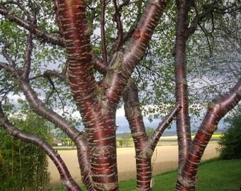 500 Paperbark Cherry Tree Seeds, Prunus serrula