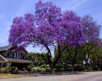 500 Royal Empress Tree Seeds, Paulownia tomentosa