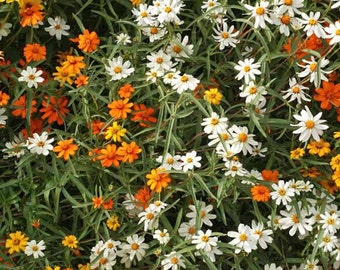 50% off! Classic Zinnia, Orange, White, and Yellow, Attracts Butterflies to Your Garden, 25 Seeds