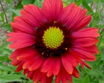 Burgundy Blanketflower Seeds, Common Gaillardia, Red Flower Attracts Butterflies, 25 Seeds