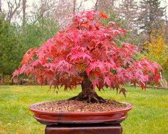Japanese Red Maple Bonsai Tree, Grow Your Own Tree, Office Decor, 5 Seeds
