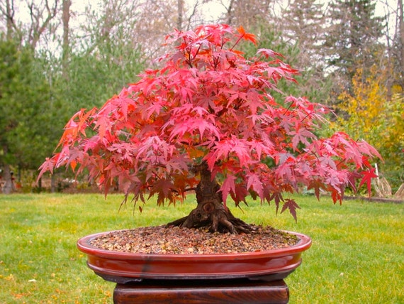 bonsai seeds japanese red maple tree grow your own tree. Black Bedroom Furniture Sets. Home Design Ideas