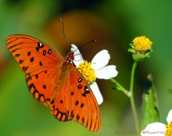 The Gulf Fritillary Butterfly  on White and Yellow Wildflowers - Fine Art Nature Photography - 8x10 or 11x14 Prints