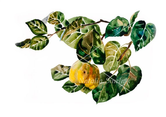 Quince twig with fruit and leaves digital download from original watercolor garden illustration, fall painting autumn clipart