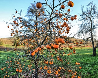 Persimmon Tree in a (Sud) French Autumn (wide)