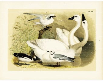 Original Antique Print From The Birds of North America - American Or Whistling Swans - Stunningly beautiful