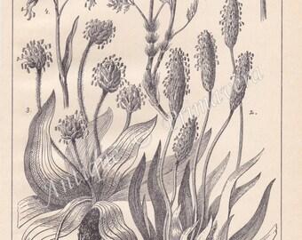 1915 Charming and Useful Alpine Fodder-plants Original Antique Engraving