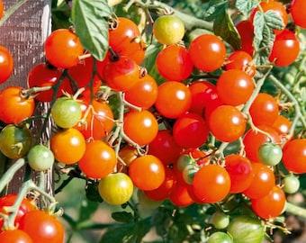Organic Sweet Baby Tomato Seeds