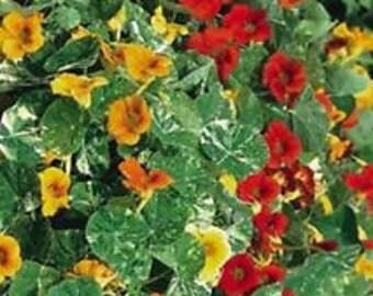 Dwarf Nasturtium 'Alaska Mix' NASTURTIUM -  25+ gardening seeds