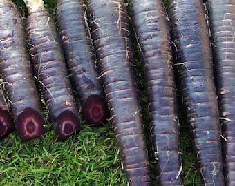 Dark Purple Carrot - Easy to Grow!
