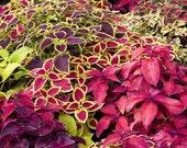 50 - Heirloom Coleus Seeds - Farm Mix - Heirloom Foliage Seed, Mixed Coleus Seed, Heirloom Flower Seed, Non-gmo Foliage, Non-gmo Flower Seed