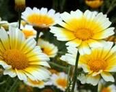 75 - Heirloom Daisy Seed - Garland Daisies or Crown Daisies, Perennial Wildflower, Garland Daisy, Crown Daisy, Heirloom Flower Seed, Non-Gmo