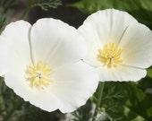 75 - California Poppy Seeds White Linen - White Poppies, Heirloom Poppies, Non-GMO Poppies, Heirloom Wildflower, Heirloom Poppy, Poppy Seeds