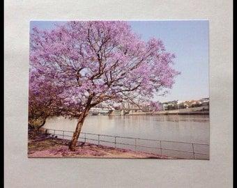 Jacaranda Tree Brisbane Australia Photograph Postcard
