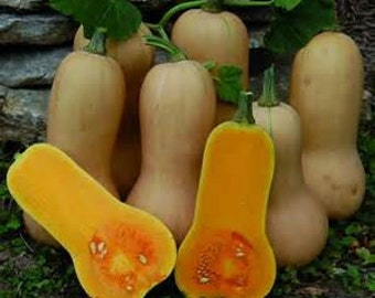 Organic Butternut Squash Seeds ~Mycorrhizae Inoculated/Bulk Available~