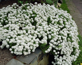 CANDYTUFT SEEDS - Iberis , hardy perennial ground cover ,Plant Spring or Fall !
