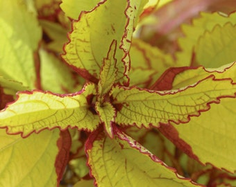 Coleus Seeds-Wizard Pineapple Coleus,very Showy,Perfect for adding some intense color into the shade border,Shade Loving, foliage plant
