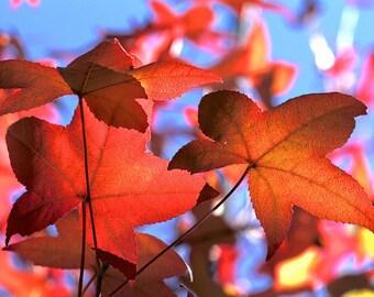 Autumn Photos, Red Autumn Leaves, Autumn Designs, Maple Leaves Print, Red Autumn, Maple leaves, Nature photo, Red Maple Leaf, Autumn Art