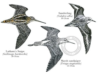 Bird illustration - Waders - bird art, print of original scratchboard artwork