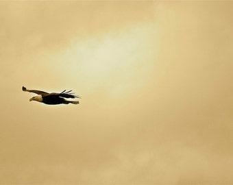 Bald Eagle, Alaska, Homer, clouds, dusk, golden sky, dreamy, flight
