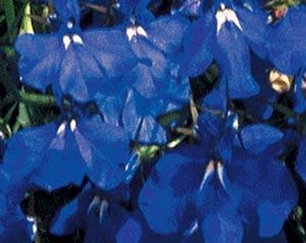 Lobelia seeds- Marine Blue- 100 seeds