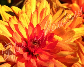 Fall Bloom, orange mum, fall photography, nature, orange flower, yellow flower, vibrant colors, flower, orange, fall, colorful, wall art