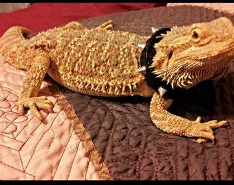 Lil' Bestie Bearded Dragon black studded collar