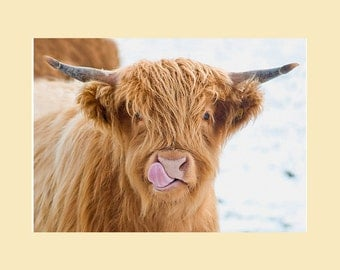 Highland cow print. 'Licky Cow' Highland Calf licking it's nose photographic print - ideal cattle lovers present, kitchen decor