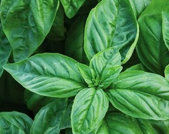 Culinary Herb - Basil, Italian Large Leaf (100% Heirloom/Non-Hybrid/Non-GMO)