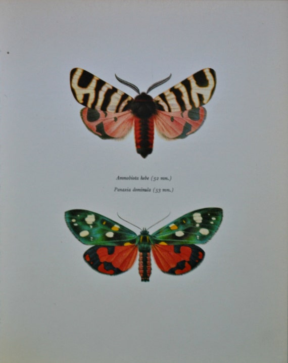 Vintage color book plate. Old print. Hebe Tiger moth and Scarlet tiger moth  .1966 illustration. 8 x 10'1 inches or 20'5 x 26 cm.