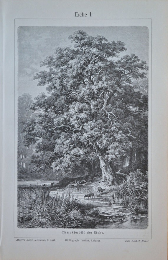 Oaks engraving. Botany print. Old book plate, 1904. Antique  illustration. 110 years lithograph. 9'6 x 6'2 inches.