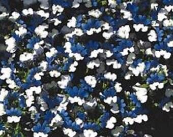 Nemesia Blue & White Flower Seeds / KLM / Strumosa / Annual   40+