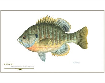 Bluegill Open Edition Print by Flick Ford, sunfish, panfish, natural history art, fish art,  freshwater picture