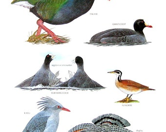 Vintage Bird Print - Takahe, Eurasian Coot, Sungrebe, Sunbittern, Giant Coot, Kagu - 1990 Vintage Book Page - 11 x 9